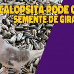 calopsita pode comer semente de girassol