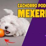cachorro pode comer mexerica?