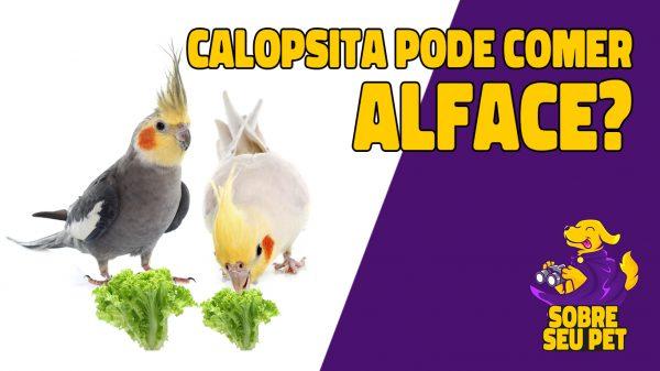 calopsita pode comer alface?