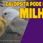 calopsita pode comer milho?